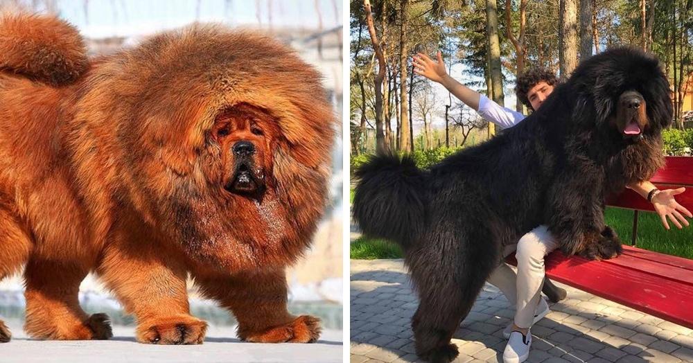 18 фотографий тибетских мастифов — лохматых КамАЗов в мире собак