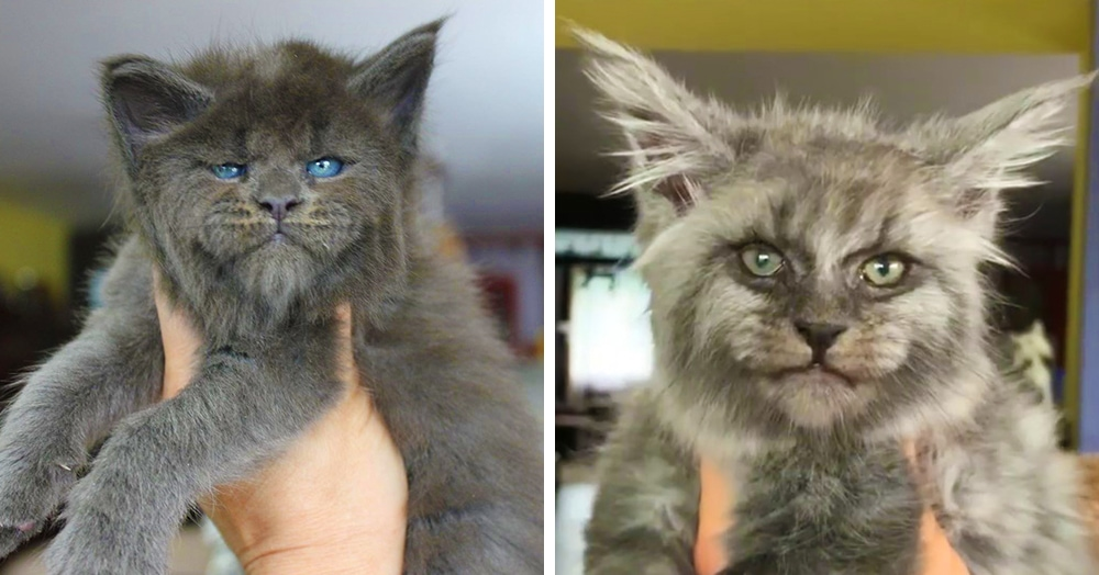 В этом питомнике рождаются котята мейн-кунов с прелестно-недовольными мордахами. Налюбоваться невозможно!