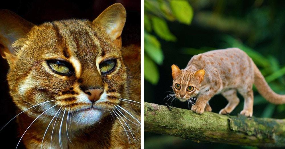 18 фото загадочных ржавых кошек (они правда так называются) — самых маленьких диких котов в природе
