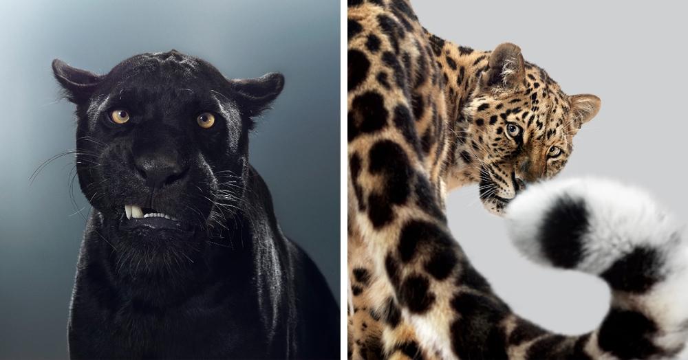 Британский фотограф год снимал портреты больших кошек и показал, что в каждом звере — свой характер