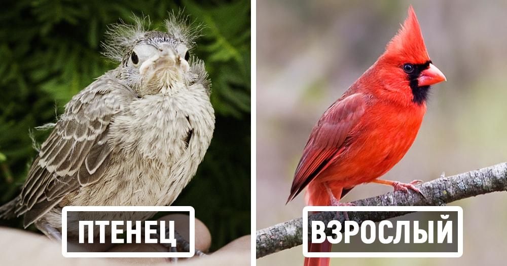 15 примеров того, как сильно маленькие птенцы отличаются от своих пернатых родителей