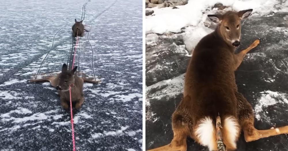 Канадец катался на коньках и нашёл оленей, застрявших на льду. Им была нужна помощь, и он не прошёл мимо