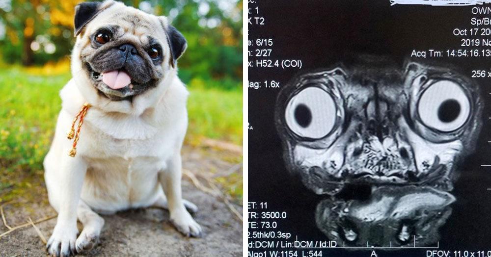 В сети показали, как выглядит томография головы мопса, и она могла бы стать постером для фильма ужасов