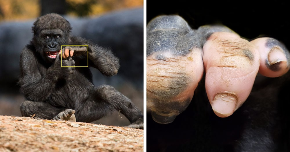 Горилла Анака способна привлечь внимание одной левой. Ведь выглядит её рука совсем как человеческая!