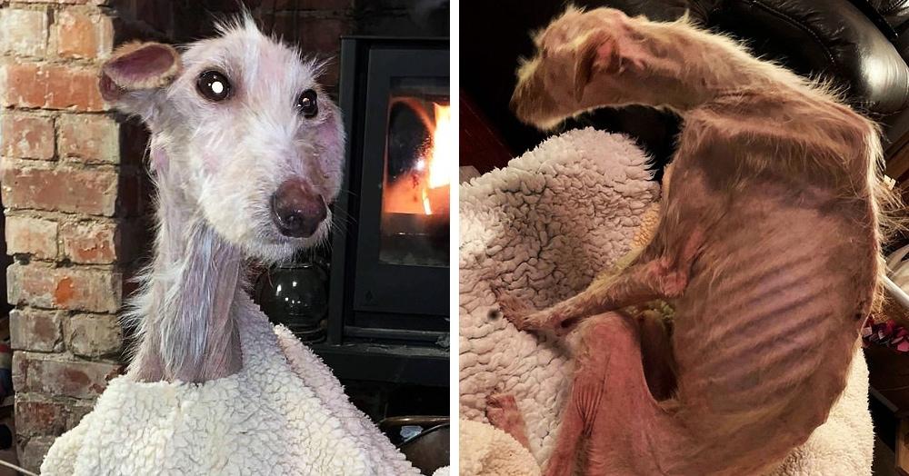 Прохожие нашли на улице собаку, больше похожую на скелет. Но волонтёры откормили её до красавицы
