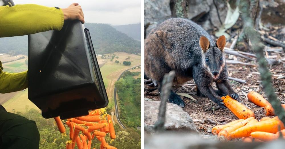 Австралийцы нашли способ быстро накормить диких валлаби, пострадавших от пожаров — им устроили бомбардировку морковкой!