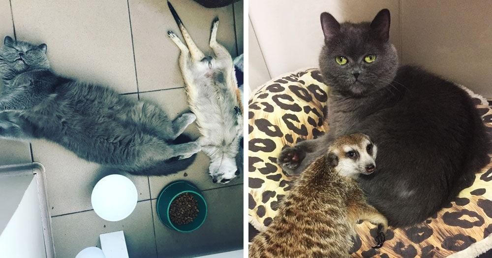 Сурикат и кот из Санкт-Петербурга подружились с первых дней знакомства, а теперь покоряют пользователей сети