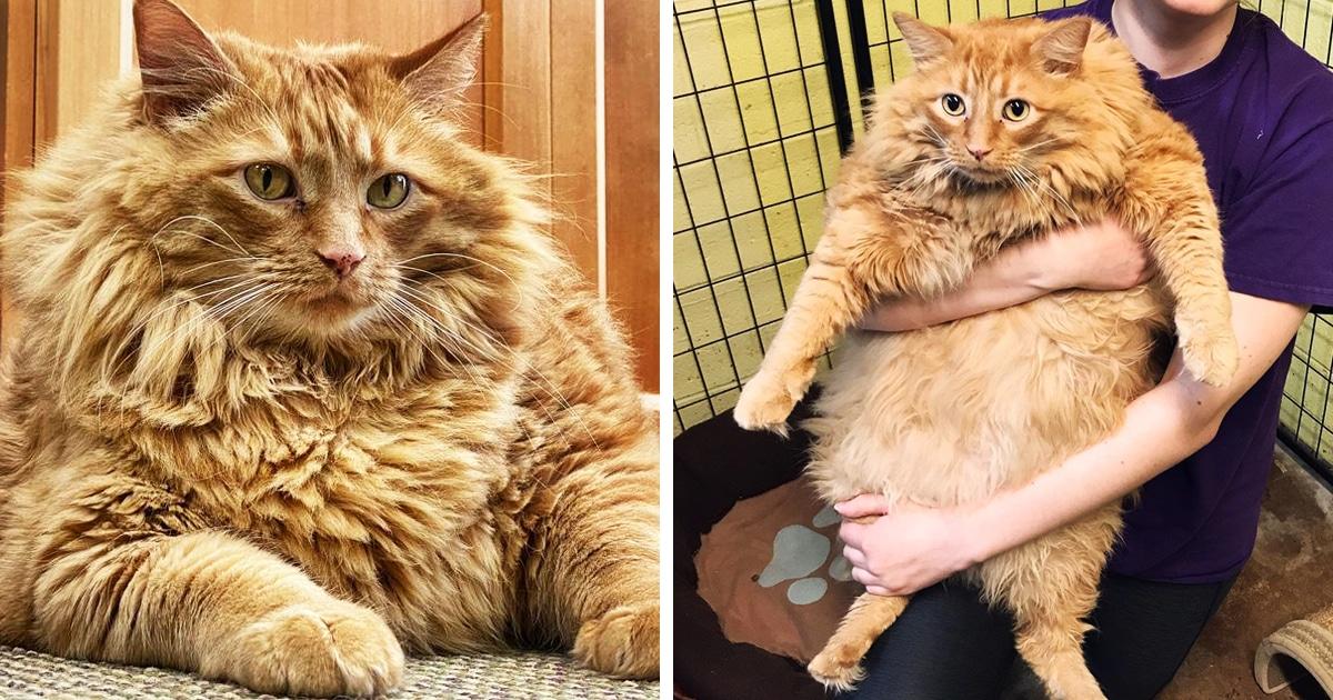 Кот по кличке Базука попал в приют и стал звездой — ведь устоять перед его 16-килограммовым обаянием нельзя