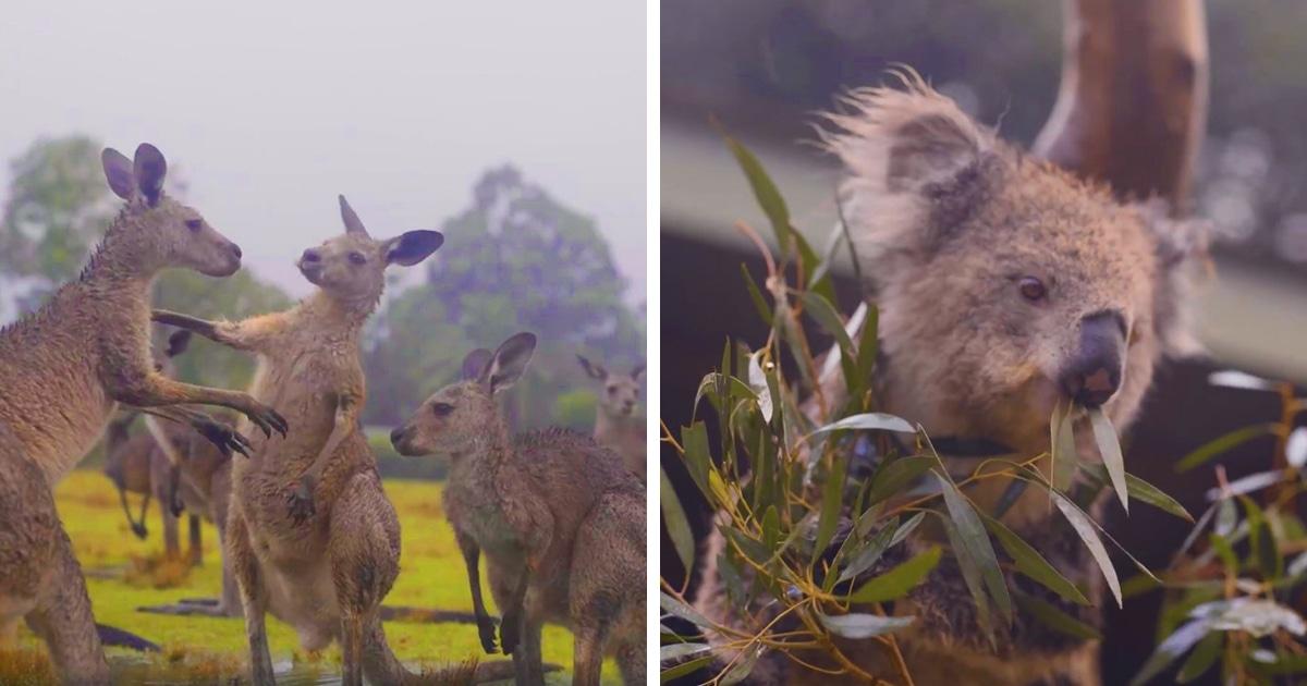 Видео из Австралии с радующимися дождю животными покорило интернет. Ведь все хотят видеть их именно такими