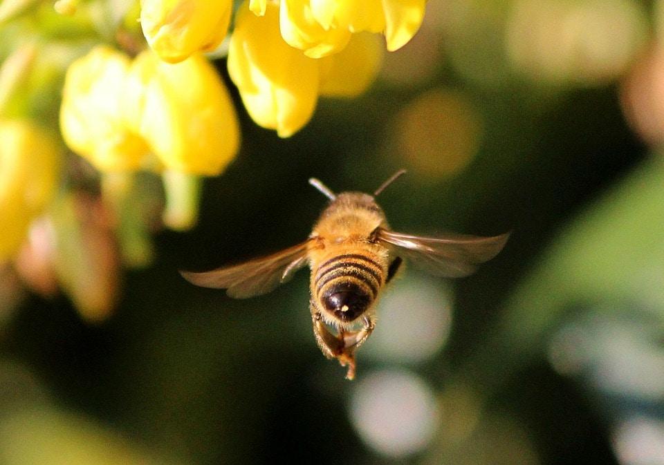 Медоносная Пчела, Насекомое, Полет, Стинг, Нектар