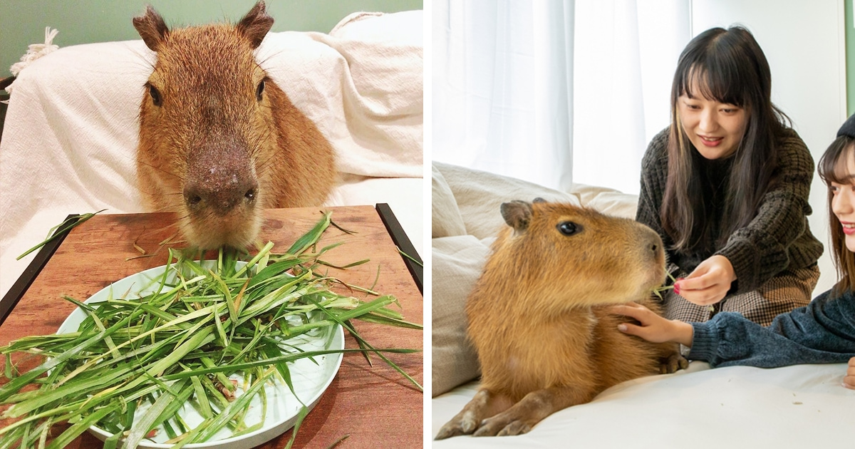 В Токио открылось котокафе, в котором котики живут вместе с грызуном. Это капибара, и её тоже можно тискать!