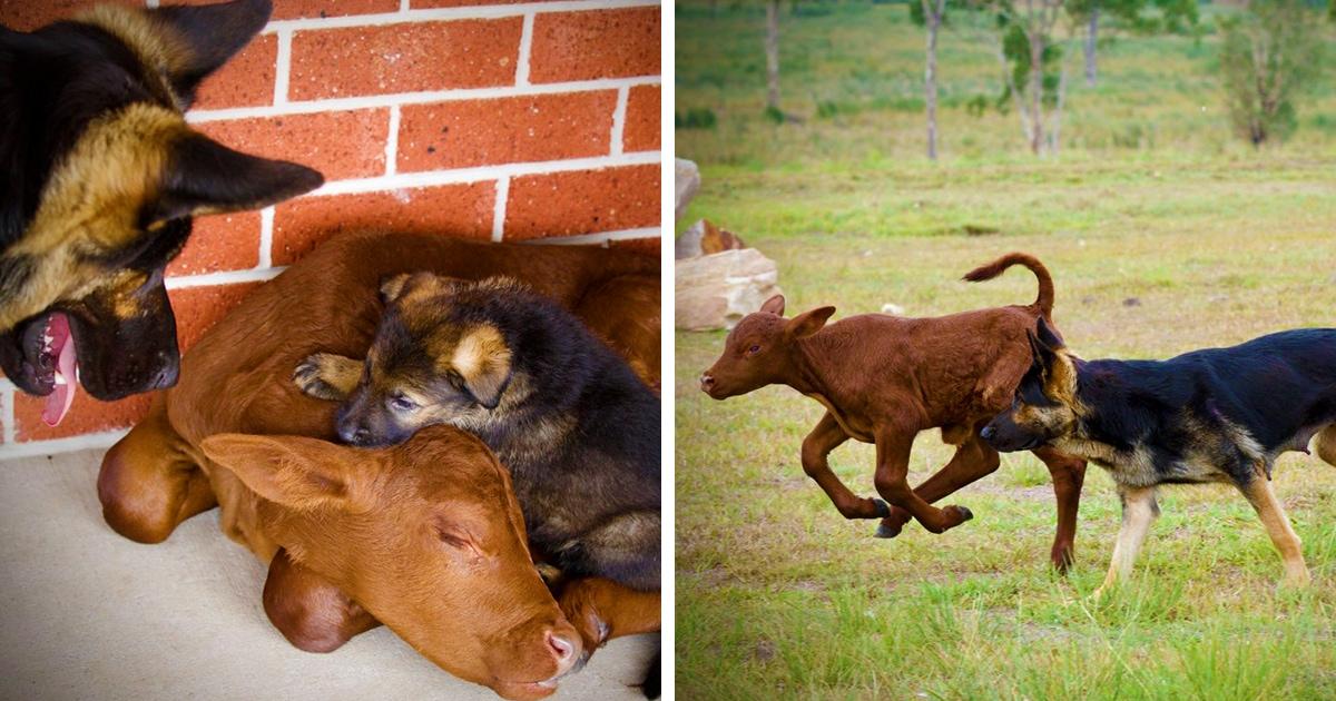 Фермеры спасли осиротевшего телёнка и отдали его на воспитание своей овчарке. Теперь он считает себя собакой