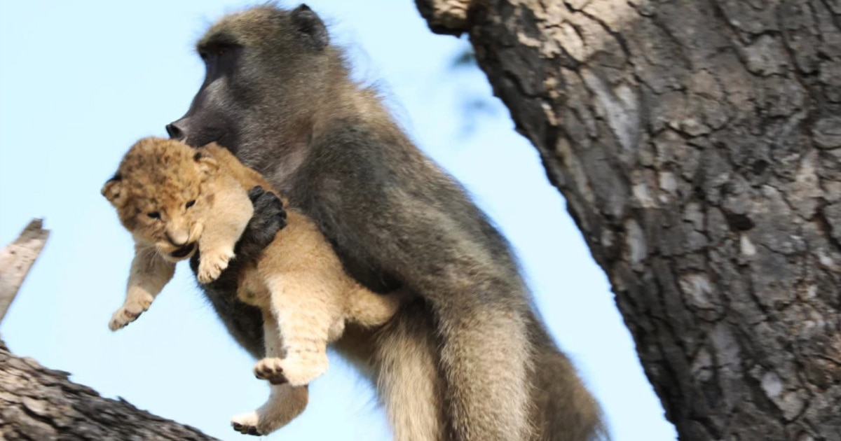 Сафари-гид заметил бабуина с львёнком в руках. И эти ребята повторили культовую сцену из «Короля льва»!