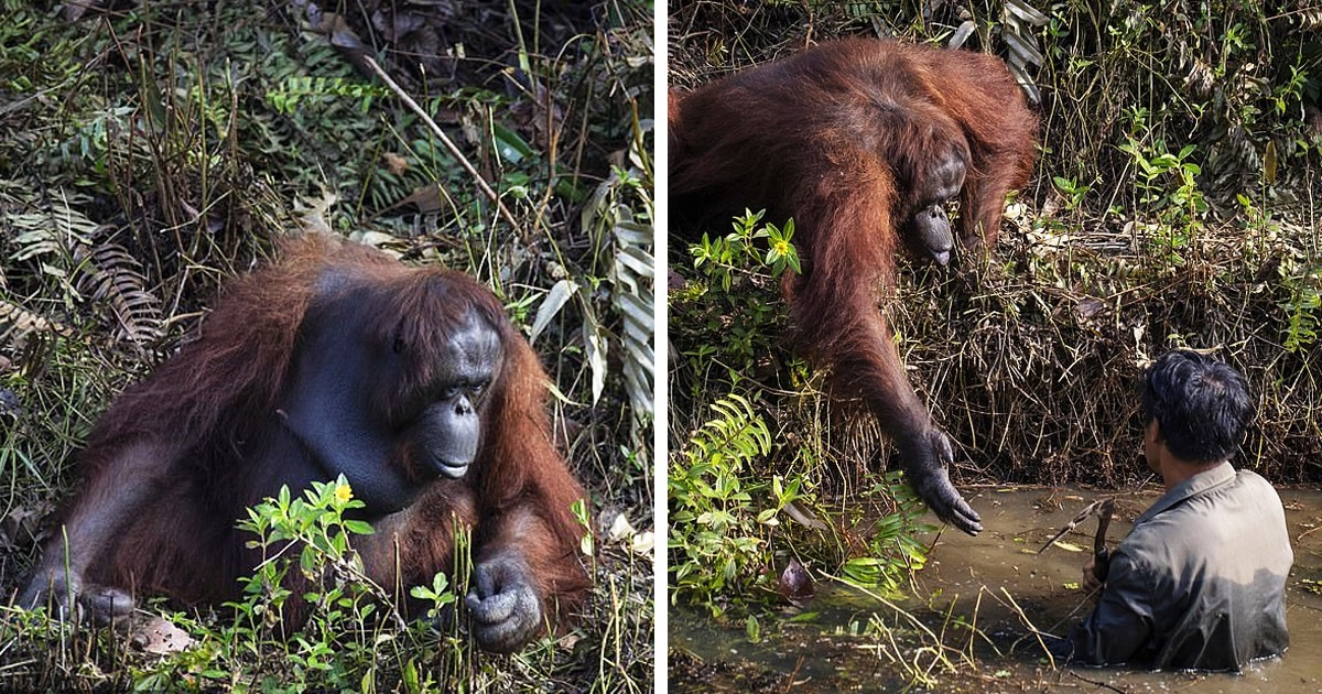 Орангутанг подошёл к человеку, стоящему в воде, и предложил ему руку помощи — но мужчине пришлось отказаться