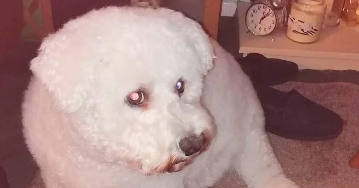Женщина капнула на пса акварелью, но попытки спасти ситуацию всё испортили. Теперь он не пёс, а Свинка Пеппа!