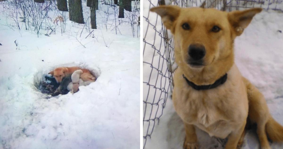 Люди спасли собаку, которая жила в снегу вместе с 6 щенками. И эта супермама не бросила их несмотря ни на что!
