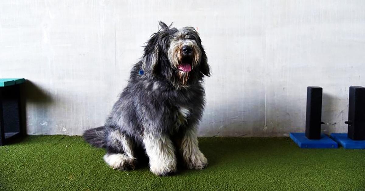 С брошенного пса Арло состригли почти 2 кг шерсти. Теперь он выглядит совершенно по-другому, и ему идёт