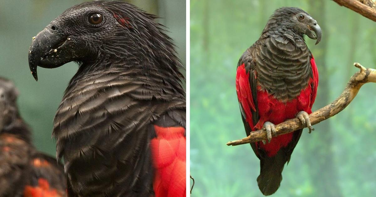 12 фотографий орлиного попугая — графа Дракулы из мира птиц, чей внешний вид внушает трепет и восхищение