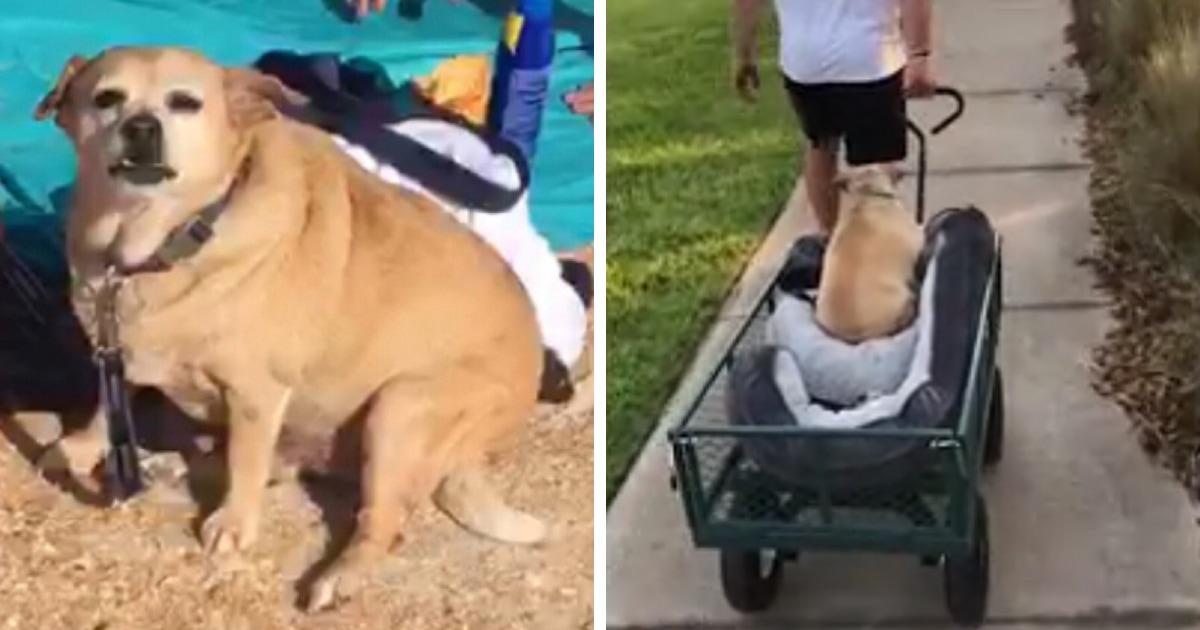 Пёс растолстел до 14 кг, потому что любил покушать и таскал объедки из ведра. Но строгая диета творит чудеса!