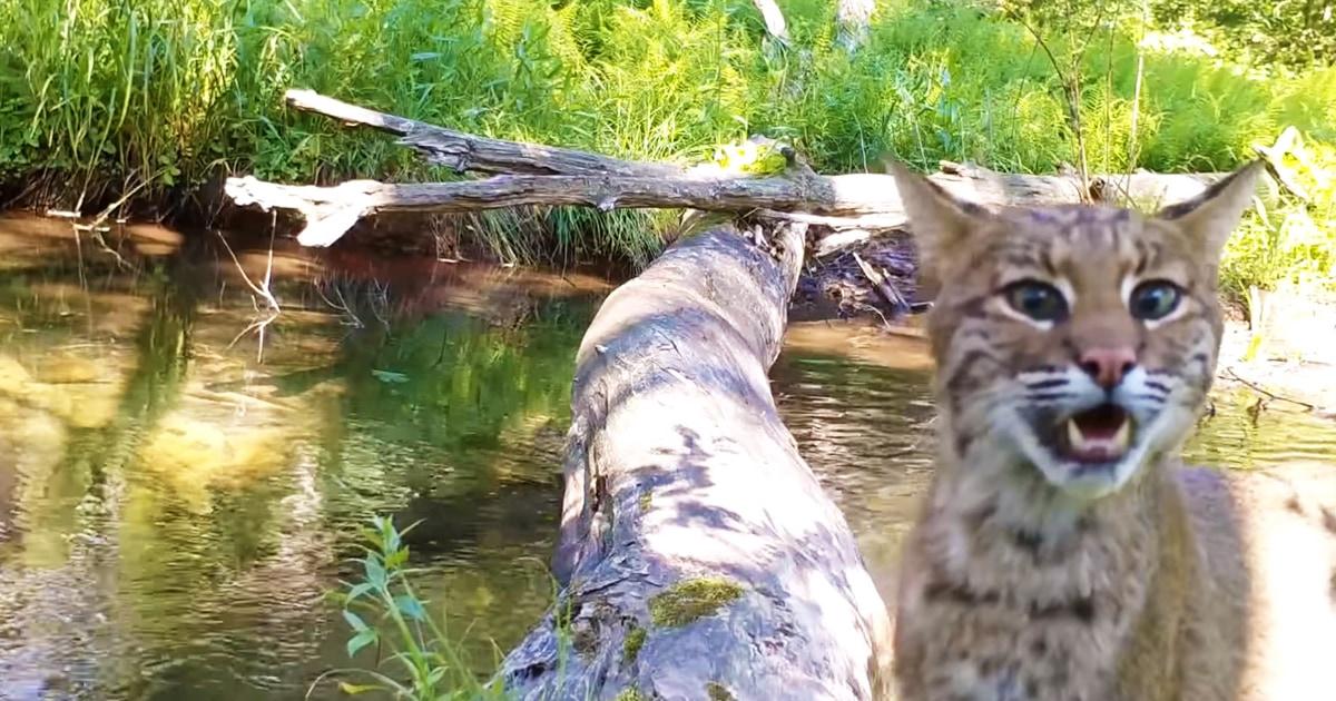 Американец поставил камеру на мостик через ручей, но точно не ожидал, что заснимет такое разнообразие животных