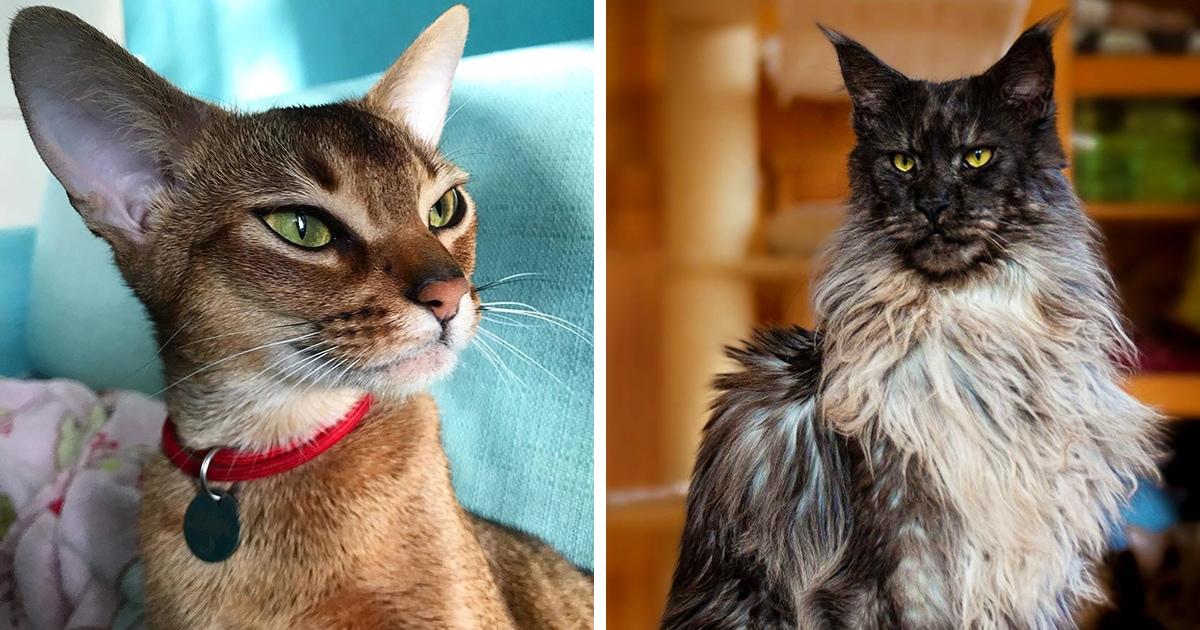 10 самых красивых пород домашних кошек, в чьём совершенстве не сможет усомниться даже ярый собачник