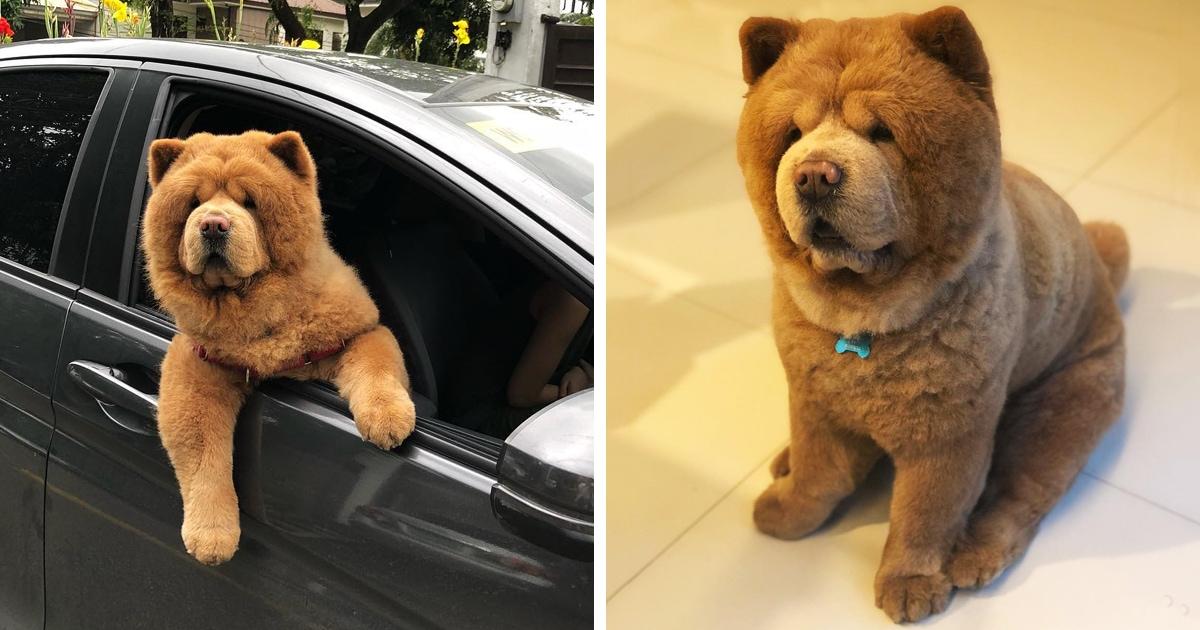 Пёс или медвежонок? Звезда Инстаграма по кличке Чаудер влюбляет в себя людей, ведь выглядит он как игрушечный