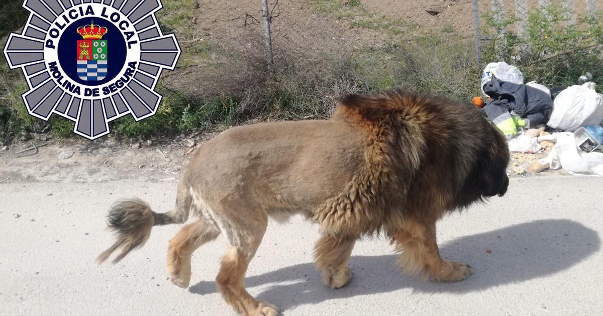 Испанские полицейские поехали ловить льва, гулявшего по городу. Но он оказался не тем, за кого себя выдавал