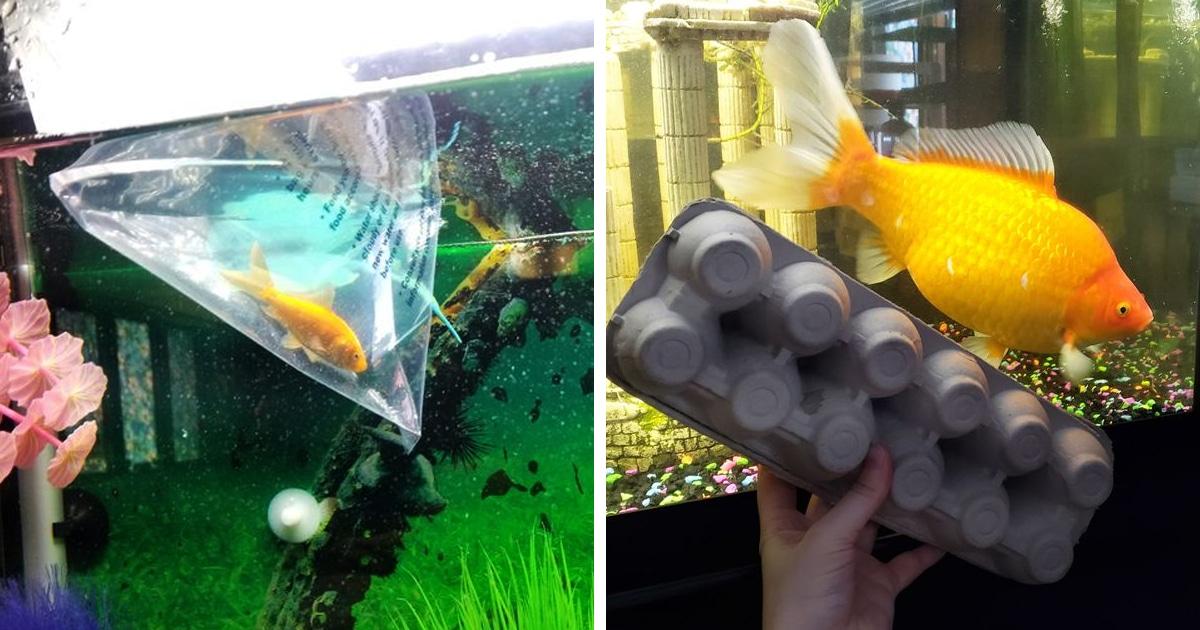 Женщина выиграла маленькую рыбку, но за два года та превратилась в грозу аквариума — и ударилась в каннибализм