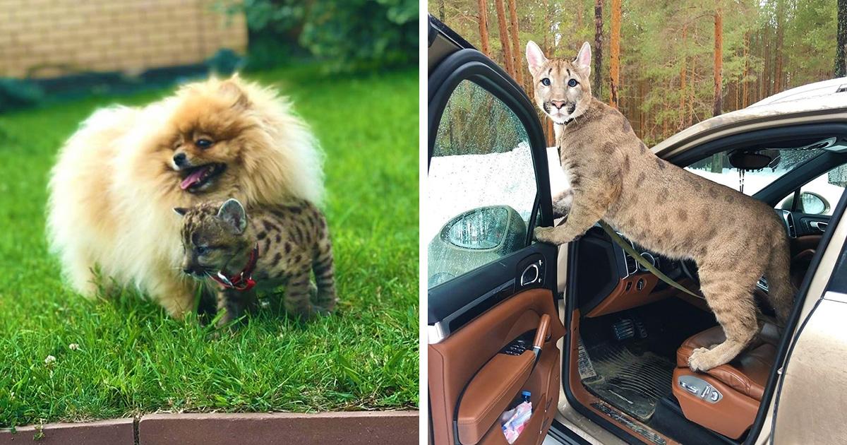 Россиянка живёт с котёнком пумы по кличке Лондон. Он был меньше своего друга-шпица, но теперь СЛЕГКА подрос