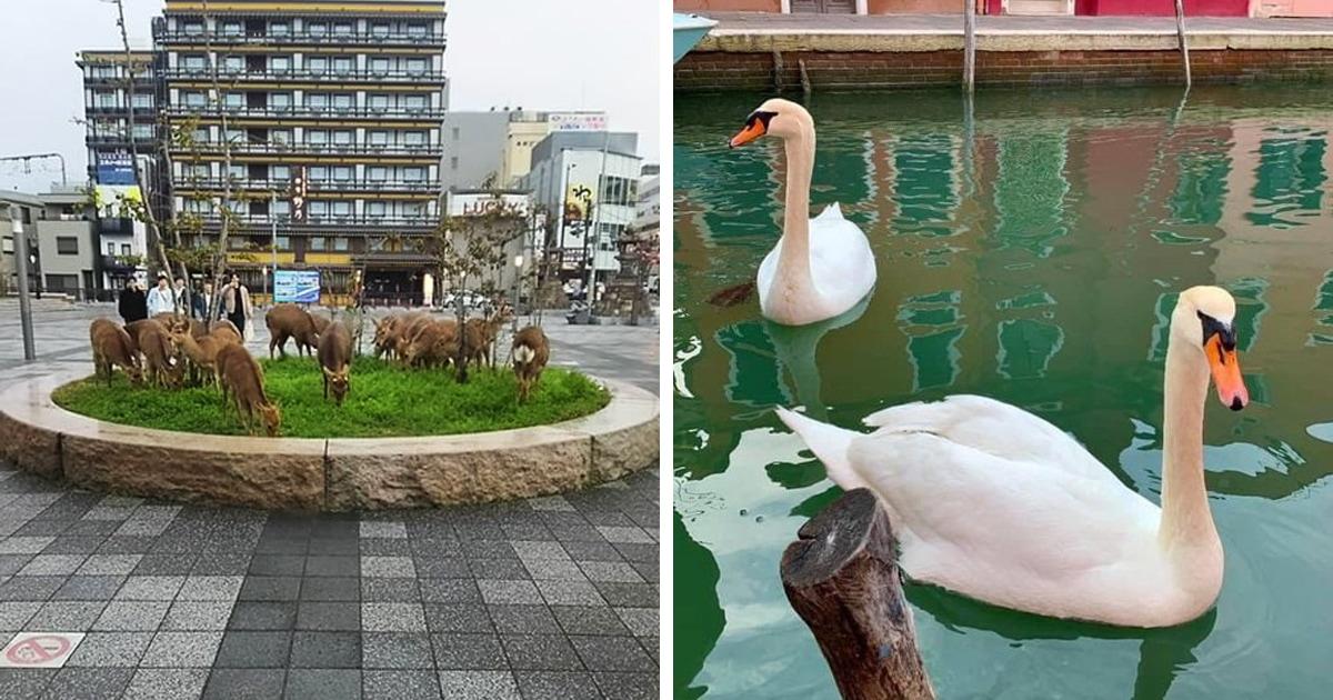 Пока люди сидят дома на карантине, животные захватывают города — туда возвращаются кабаны, лебеди и дельфины