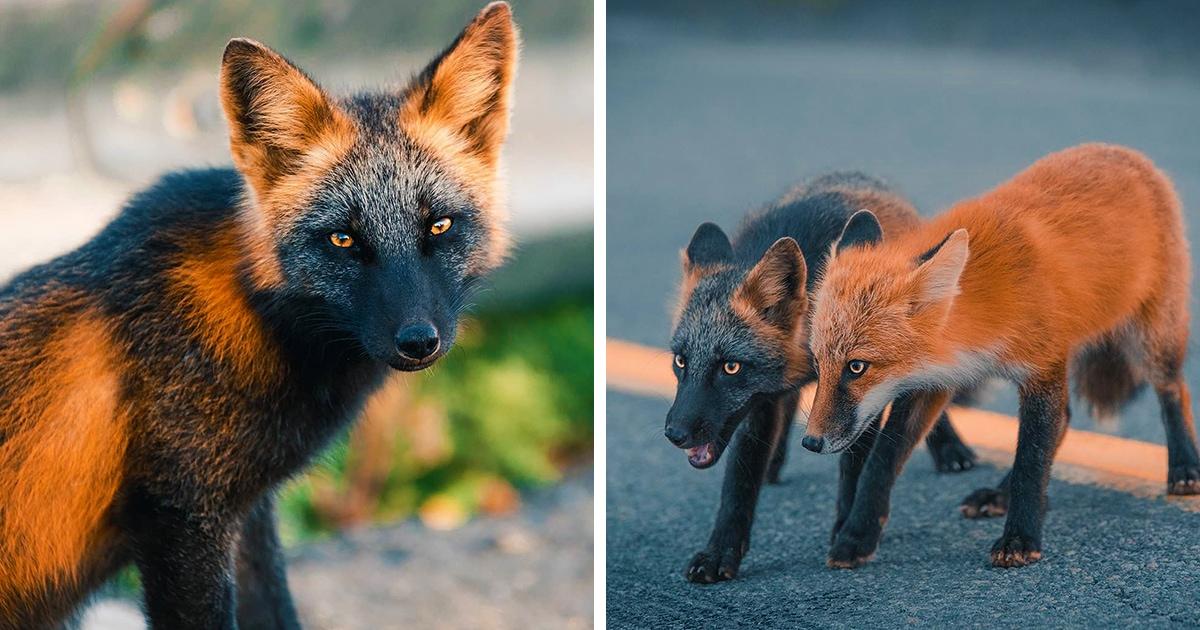 Канадский фотограф подружился с лисой редкого окраса, и она со своей сестрой позировали мужчине 8 недель