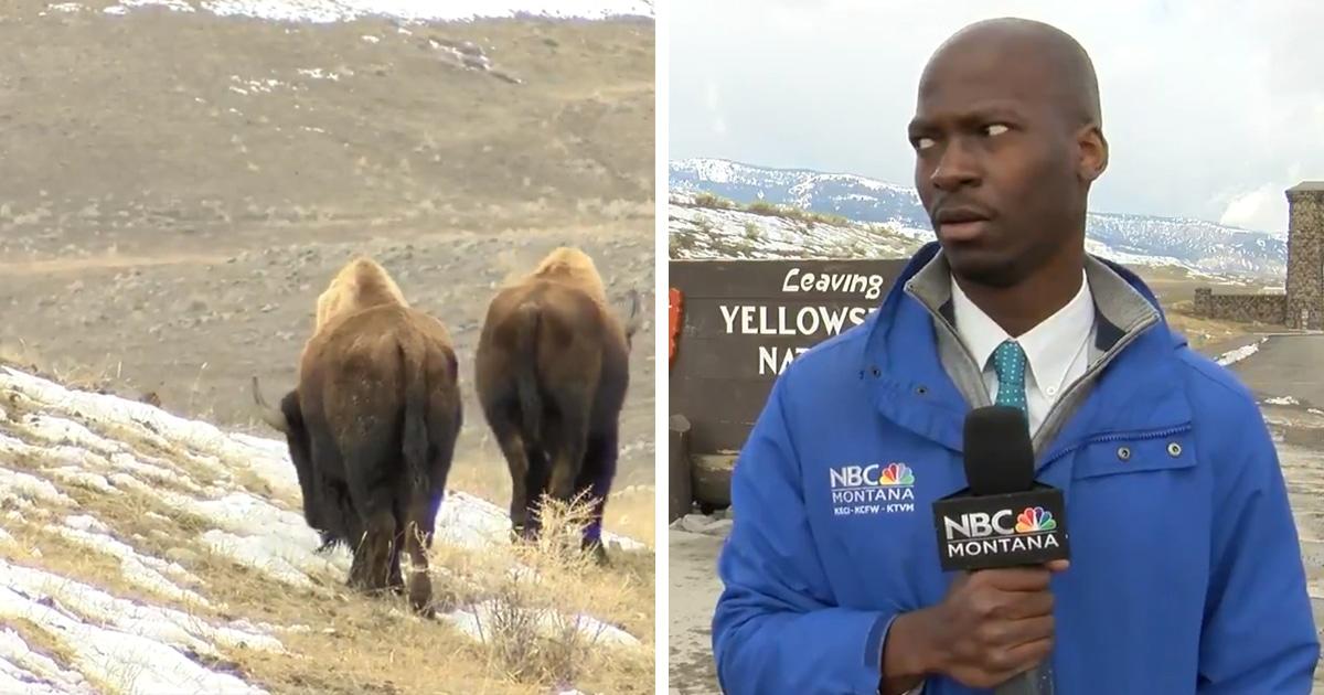 Репортёр снимал видео, когда к нему решили подойти бизоны. И его реакция на этих громадин превратилась в мем