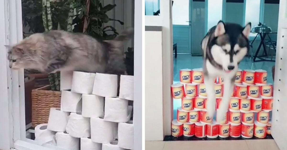 1000 и 1 способ использования туалетной бумаги: люди проверяют, через сколько рулонов перепрыгнут их питомцы