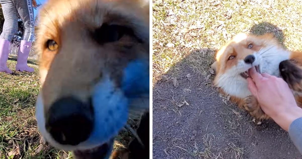 Наглая лиса украла телефон с включённой камерой и сняла артхаусный фильм о самом милом ограблении