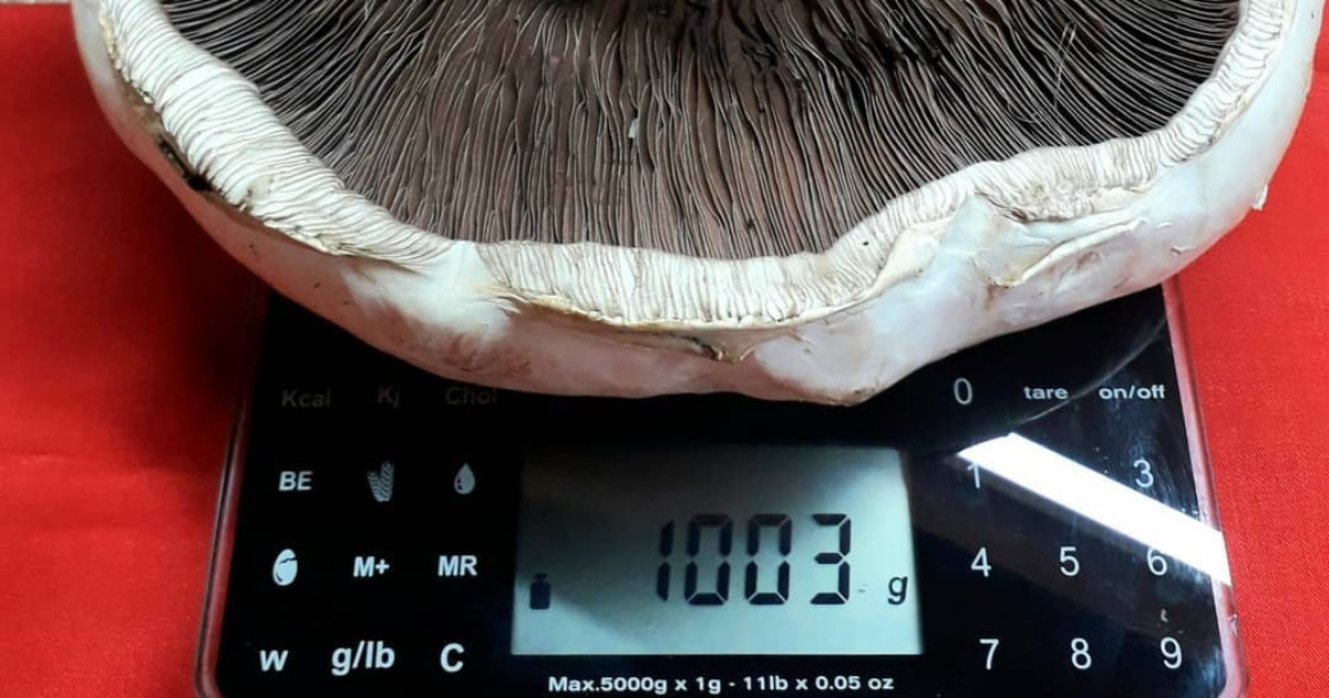 В Иркутске вырастили гриб «Господин Шампиньон» весом больше 1 кг. Его шляпку превратили в основу для пиццы