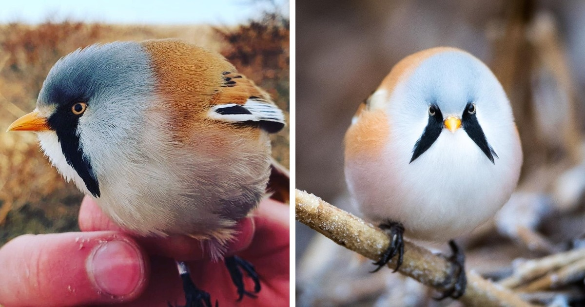 17 фотографий усатых синиц — самых круглых и мультяшных птиц в природе