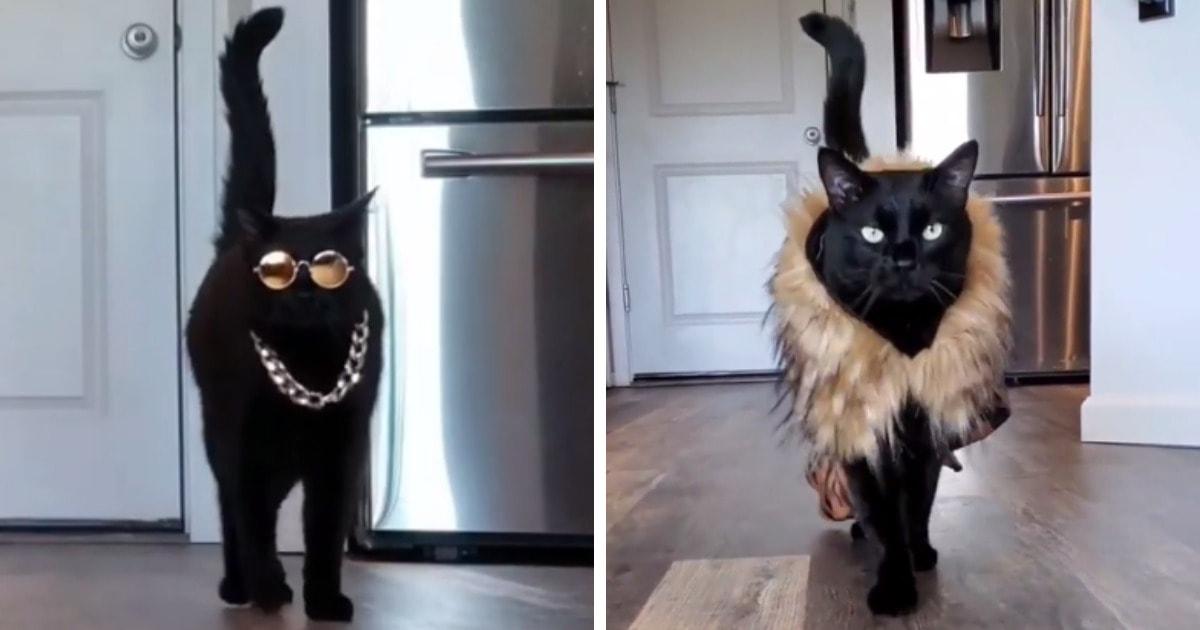 Кот устраивает модные показы прямо у себя дома, и это просто вау: его походке позавидуют топ-модели