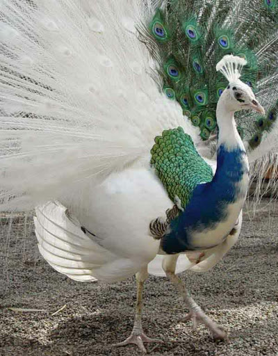 Like this peacock, who has partial leucism.