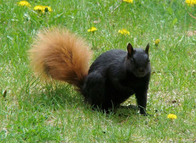 Here, we can see a partially melanistic squirrel.