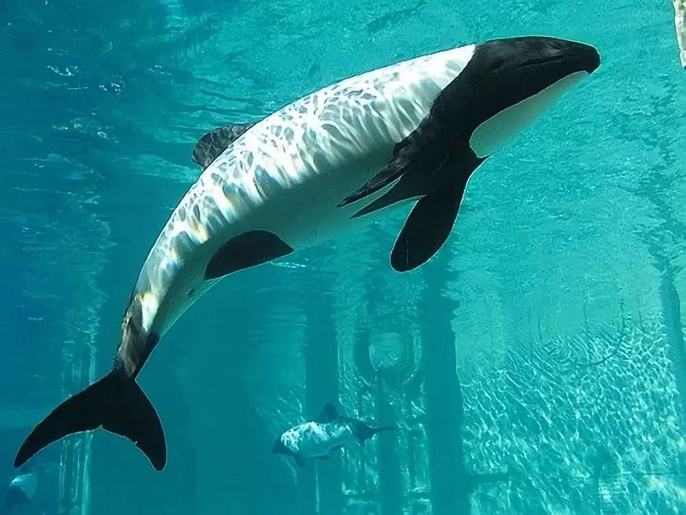 "These piebald dolphins are also known as ""panda dolphins."""