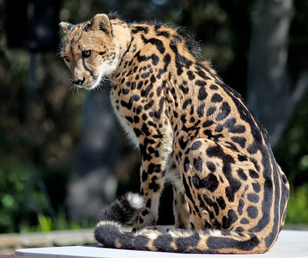 The king cheetah is a rare mutation characterized by a distinct fur pattern. It's been reported only five times in the wild since the 1920s, and was not photographed until 1974.
