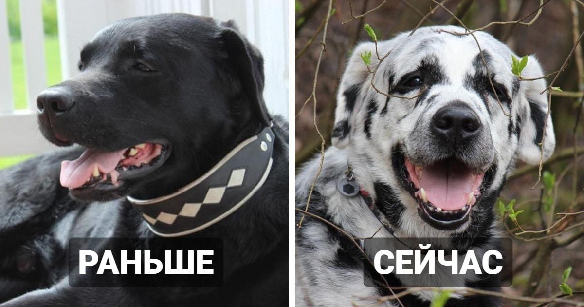 Пёс был чёрного цвета, пока его шерсть не начала белеть. У него витилиго, и оно превратило его в печеньку Орео