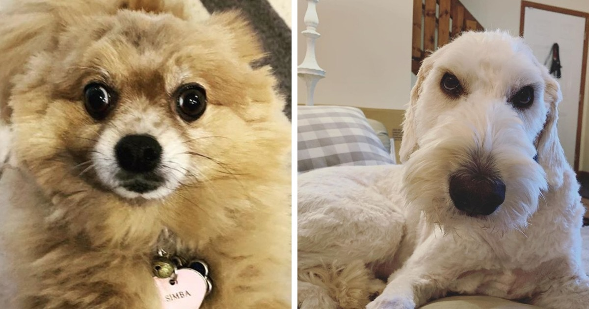 15 случаев, когда из-за карантина хозяева сами стригли собак — и их клиентам новые причёски не понравились