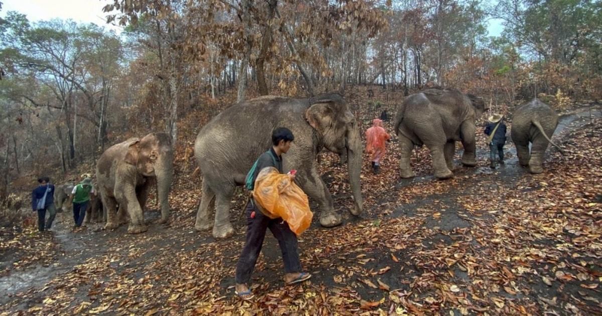 В Таиланде слонов возвращают в естественную среду обитания из-за COVID-19. К ним больше не приходят туристы