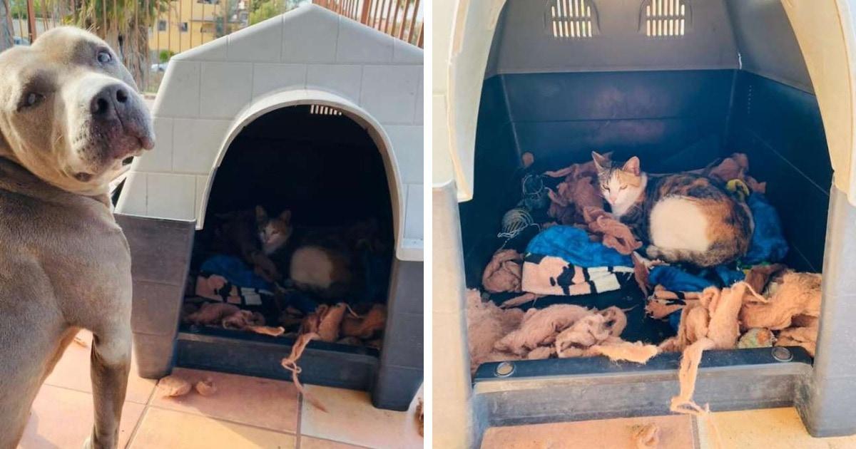 Питбуль удивил хозяина, уступив конуру бездомной кошке. Она так доверилась собаке, что родила там котят