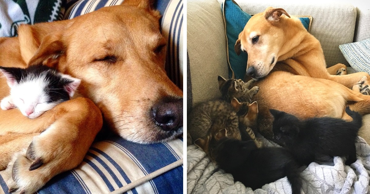 Женщина спасла пса от усыпления, а потом стала помогать котятам. Пёс стал для них мамой, и это мило до безумия