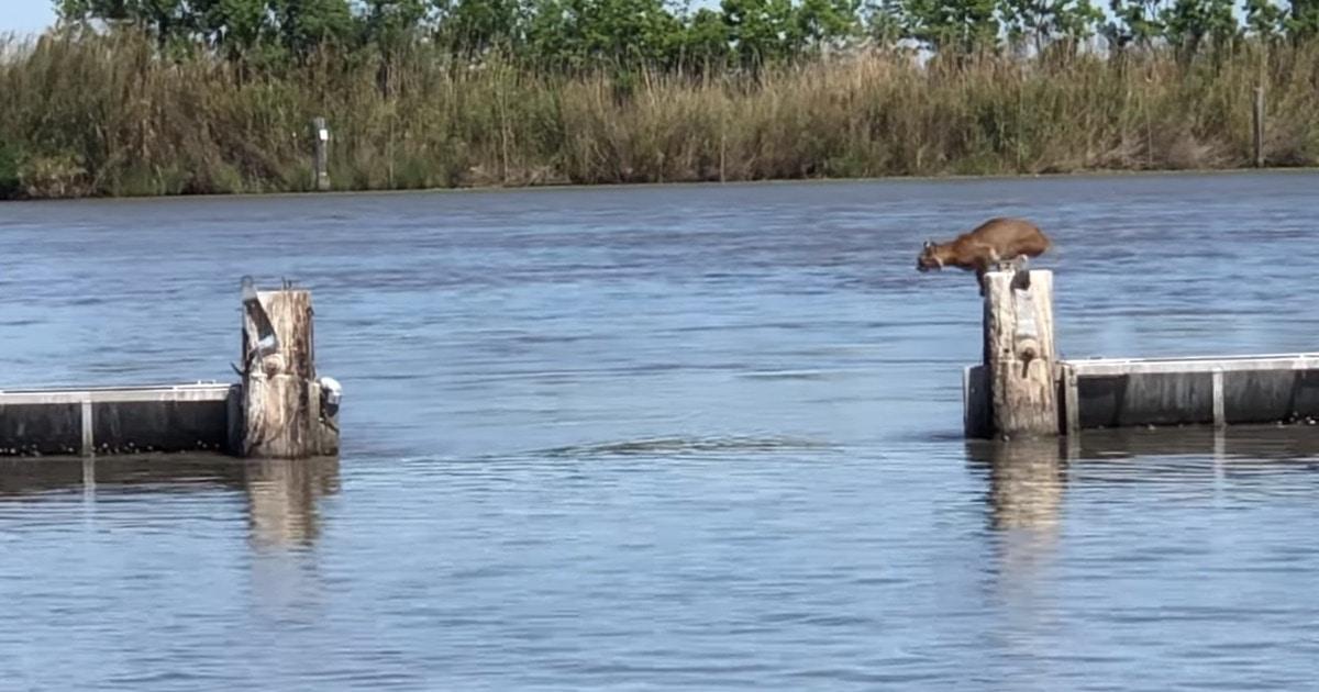 Люди сняли, как рысь перепрыгивает через воду, и видео её прыжка держит в напряжении до самого конца