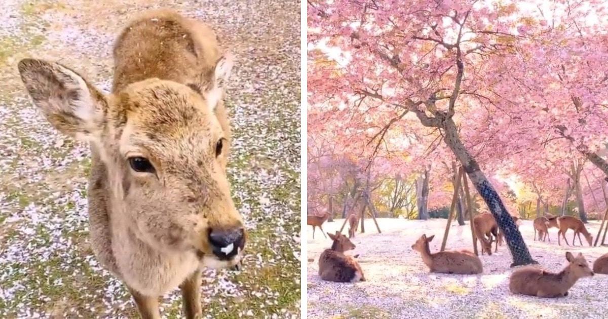Фотограф снял оленей в японском парке во время цветения сакуры, и выглядят эти кадры как сказка наяву