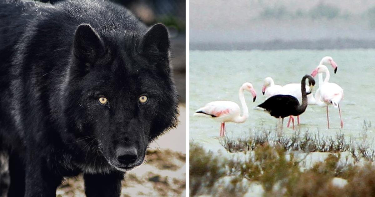 15 фотографий животных с меланизмом, которые выглядят как готичные версии своих обычных собратьев