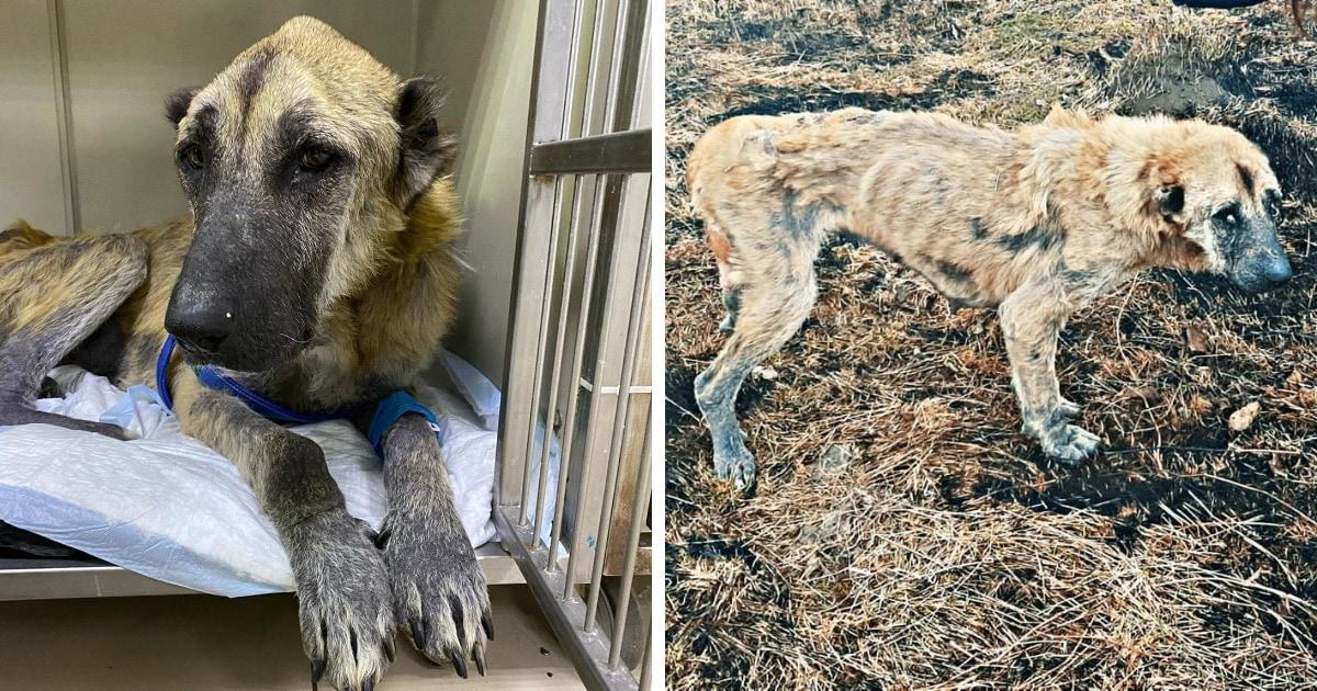 Люди нашли такую худую собаку, что в ней нельзя было узнать алабая. Но волонтёрам удалось вернуть её к жизни